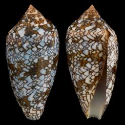 Conus Textile F. Albospiratus (7)