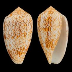 Conus Textile Vaulberti (1)