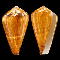 Conus Vexillum (4)