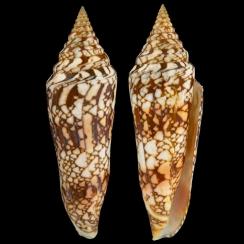 Conus Milneedwardsi Clytospira (1)