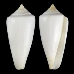 Calibanus Nivalis (1)