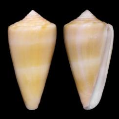 Conus Daucus (2)