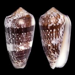 Conus Floccatus (1)