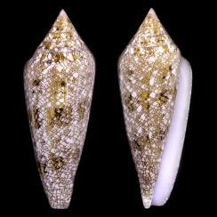 Conus Gloriamaris (5)