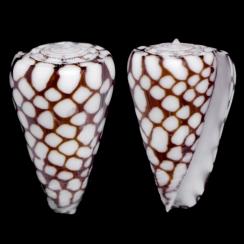 Conus Marchionatus (2)