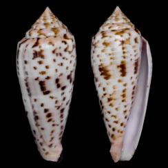 Conus Phuketensis (1)