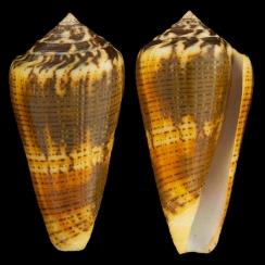 Conus Magus (4)