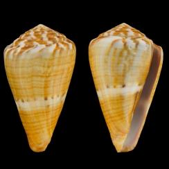 Conus (Rhizoconus) Namocanus (2)