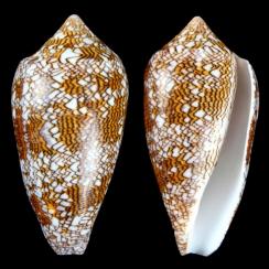 Conus Textile F. Pyramidalis (6)