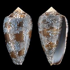 Conus Textile Textile f. Blue (4)