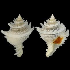Coralliophilidae (11)