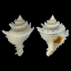 Babelomurex Lischkeanus (1)