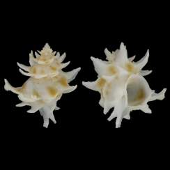 Babelomurex Spinosus (2)