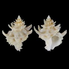 Babelomurex Diadema (3)