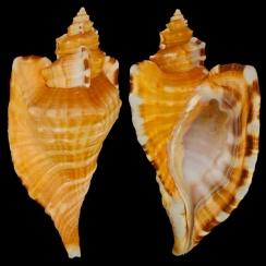 Cymatiidae (12)