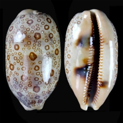 Cypraea Argus (2)