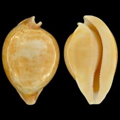 Cypraea Armeniaca (24)