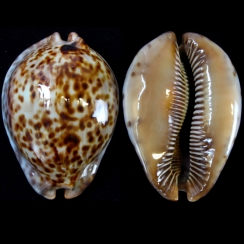 Cypraea Stercoraria (3)