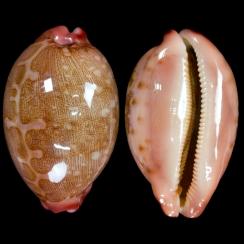 Cypraeidae (319)
