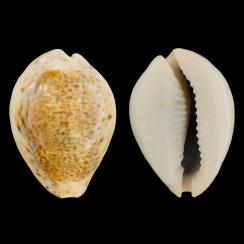Cypraea Turdus Winkworthi (1)