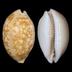 Callistocypraea Nivosa (4)