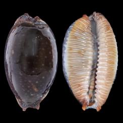 Cypraea Staphylaea F. Laevigata (4)