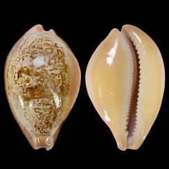 Austrasiatica Langfordi (1)