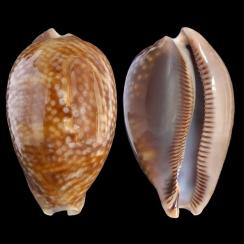 Macrocypraea Cervus (5)
