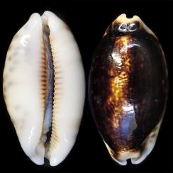 Mauritia Eglantina Niger (2)