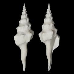 Fasciolariidae (9)