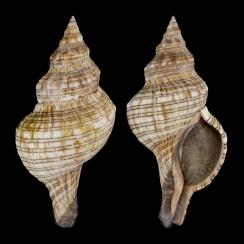 Pleuroploca Lischkeana (1)