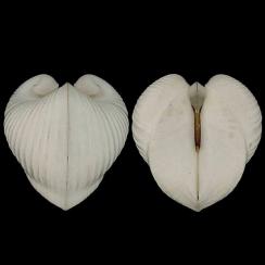 Glossidae (1)