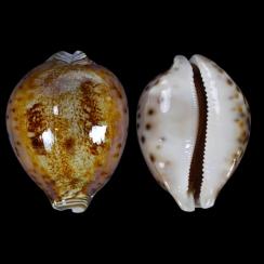 Leporicypraea Valentia (6)