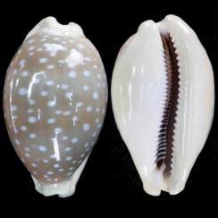 Lyncina Camelopardalis (4)