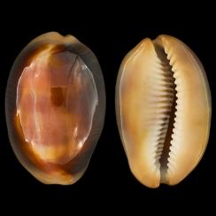 Lyncina Ventriculus Ventriculus (12)