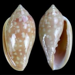 Marginellidae (13)