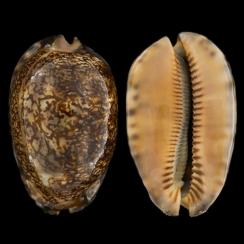 Mauritia Arabica Rudimaculosa (1)
