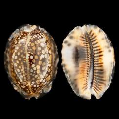 Mauritia Maculifera (8)