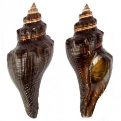 Melongenidae (17)