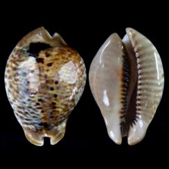 Muracypraea Mus Tristensis (1)