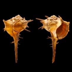 Bolinus Cornutus Cornutus (2)