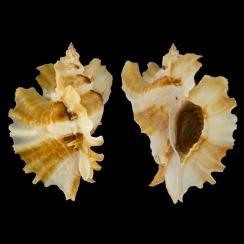 Ceratostoma Burnetti (7)