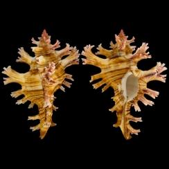 Chicoreus Palmarosae (3)