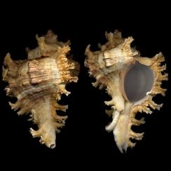 Chicoreus Ramosus (6)