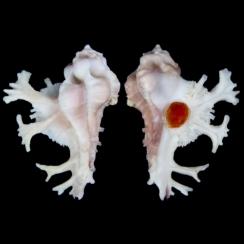 Homalocantha Anatomica (2)
