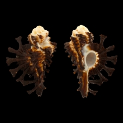 Homalocantha Scorpio (6)