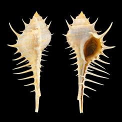 Murex Echinodes (2)