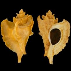 Ocinebrellus Falcatus (1)