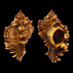 Phyllonotus Pomum (1)