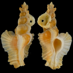 Pterynotus Elongatus (3)